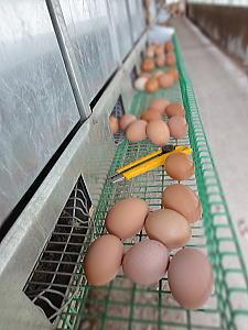 産んでくれている初卵