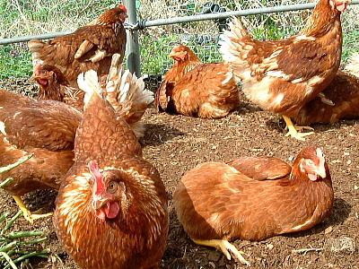 オークリッチの鶏の様子