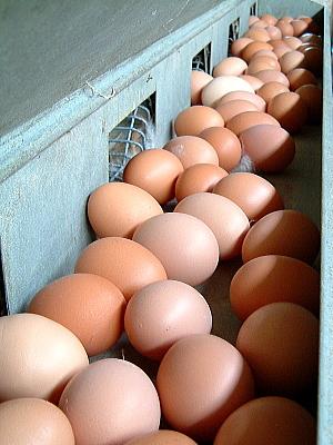 同じ巣箱に産んだ卵の殻色はいろいろ